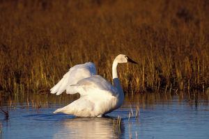 whistling swan, Cygnus columbianus, stretching its wings on the 1002 coastal plain