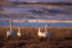 whistling swan, Cygnus columbianus, and snow geese, Chen caerulescens, along the