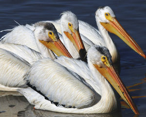 White Pelican Quartet, Summer lake, Oregon, USA