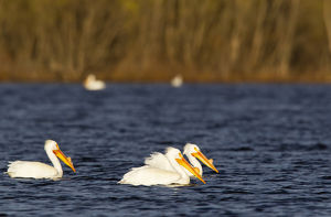 White Pelicans on Calamus Reservoir in Loup County, Nebraska, USA