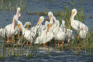White pelicans resting among the bulrush, Pelecanus erythrorhynchos, Viera Wetlands