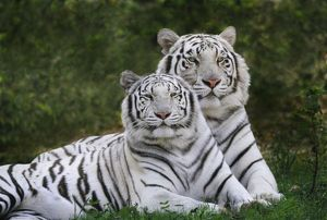 White phase, Bengal Tiger, Tigris