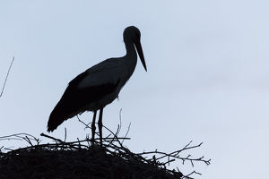 White Stork (Ciconia ciconia) on nest in the hungarian Puszta during dawn silhouetted
