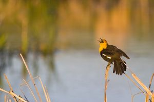 Yellow Headed Blackbird singing in cattails in the Mission Valley of Montana