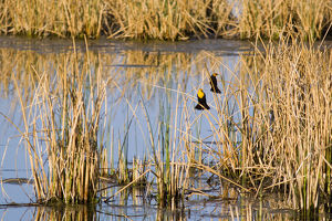 Yellowheaded Blackbirds in small pond at Ninepipe WMA in the Mission Valley of Montana