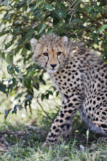 Young cheetah resting beneath bush, Masai Mara, Kenya, Africa