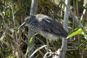 Black-crowned night heron in the Florida Everglades