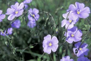 Blue flax, a native wildflower described by Meriwether Lewis, Montana