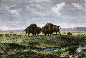 Buffalo bulls fighting on the Great Plains