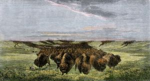 Buffalo herd on the American prairie