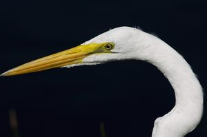 Great egret in the Florida Everglades
