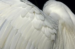Great egret's wing in the Florida Everglades