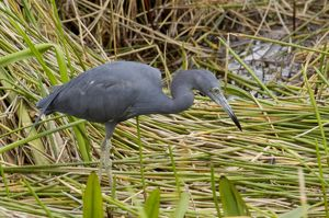 Little blue heron in the Florida Everglades