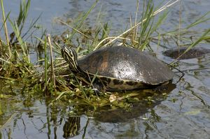 Painted turtle in the Florida Everglades