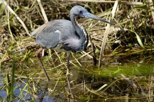 Tricolored heron (Louisiana heron) in the Florida Everglades