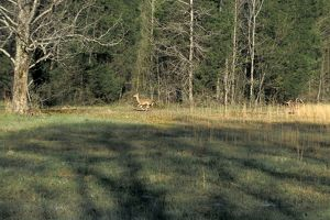 White-tailed deer in Alabama