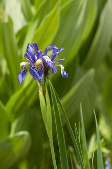 Wild iris in the Pecos Wilderness, New Mexico
