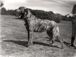 Irish Wolfhound in a field in Sussex