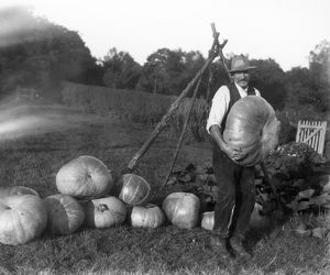 A pile of large pumpkins with grower