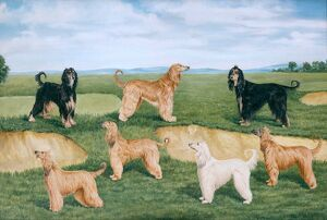 Acklam Afghan Hounds