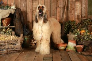 Afghan Hound (afghan greyhound)