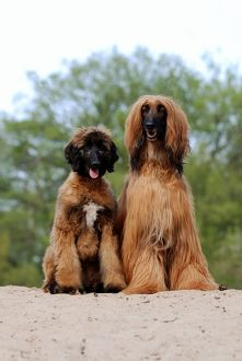 Afghan Hound and puppy