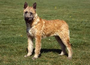 Belgian Shepherd Dog-Laekenois