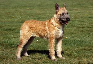 Belgian Shepherd Dog (Laekenois)