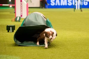 border collie going through the tunnel at Crufts 2015