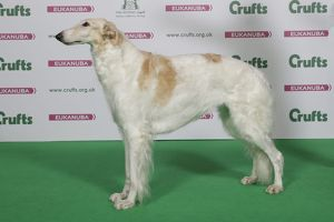 Borzoi Best of Breed Winner Crufts 2016
