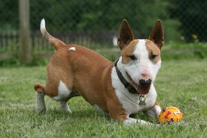 Bull Terrier-Miniature