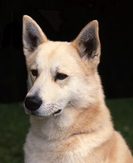 <b>Canaan Dog</b><br>Selection of 37 items