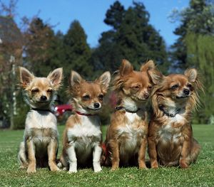 Chihuahuas (Long Coat)