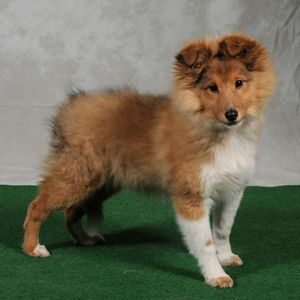 Collie-Rough puppy