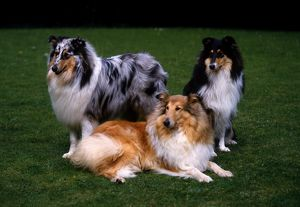 Collies (Rough)