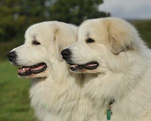 Pyrenean Mountain Dogs