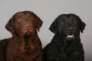 Two Curly Coated Retrievers
