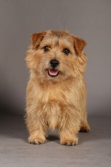 crufts studio images/crufts 2013 norfolk terrier nick ridley stock