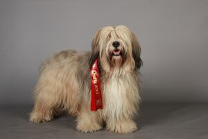 Tibetan Terrier with Ribbon