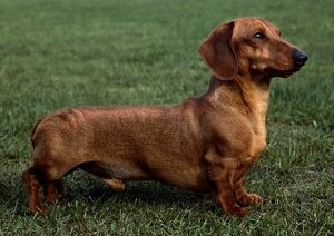 Dachshund (Mini Smooth Haired)