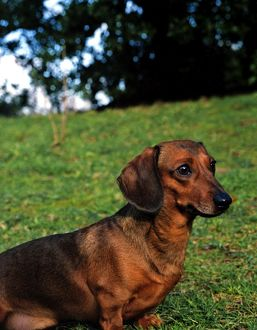 Dachshund-Miniature Smooth Haired