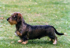 Dachshund-Miniature Wire-Haired