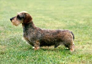 Dachshund (Miniature Wire-Haired)