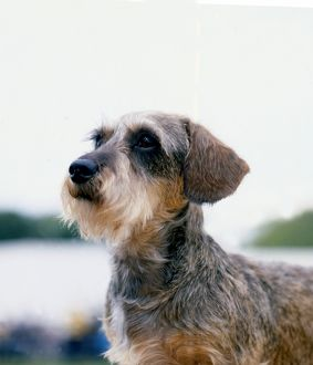 Dachshund- Wire-Haired
