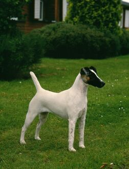 Fox Terrier (Smooth Haired)