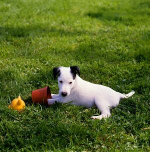 Fox Terrier (Smooth) puppy