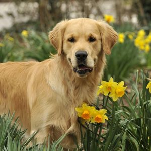 Retriever-Golden