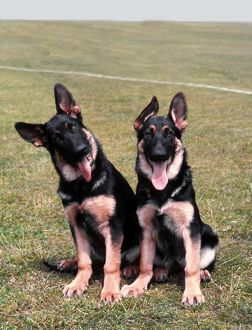 German Shepherd Dog Puppies