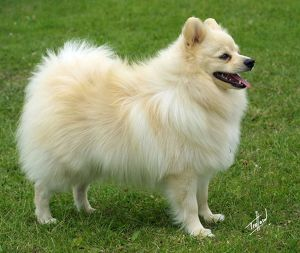German Spitz-Klein