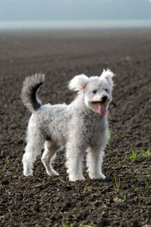 <b>Hungarian Pumi</b><br>Selection of 1 items